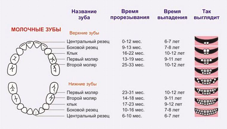 Схема смены зубов у детей на постоянные фото 396