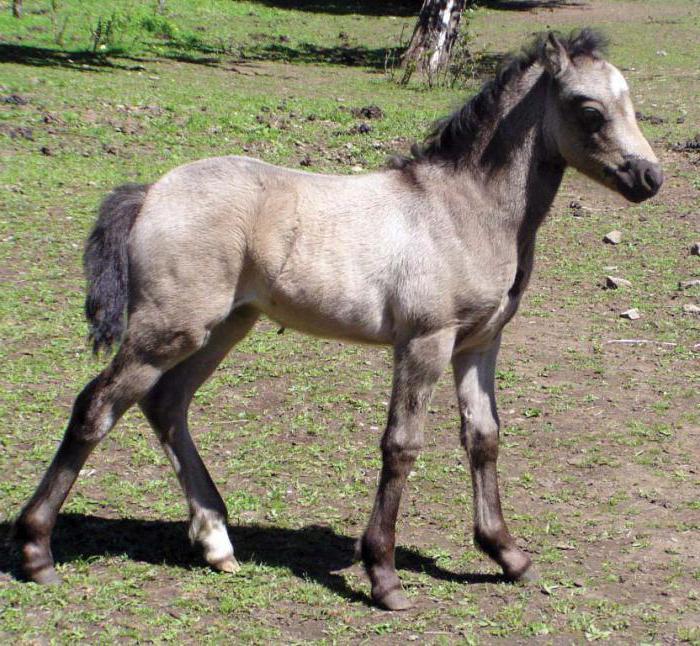 уэльский пони происхождение