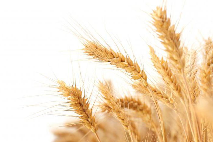 яровая пшеница виды