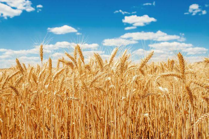 особый вид пшеницы