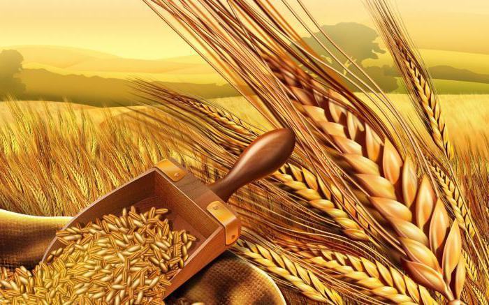вид пшеницы 7 букв
