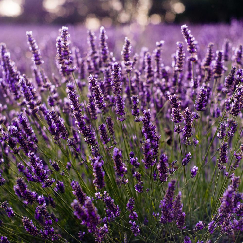 лаванда фото растения и цветов боль всегда