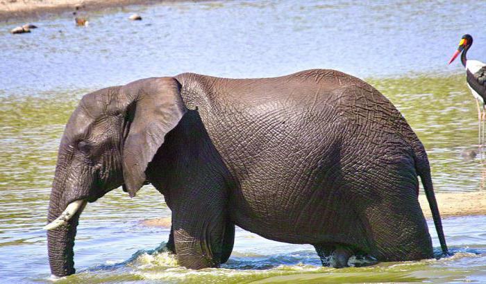 Сколько весит африканский слон в тоннах