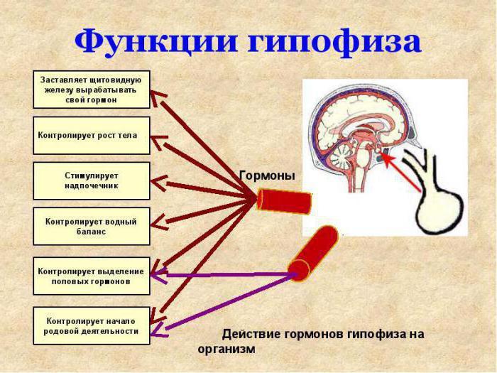 гипофиз человека гистология
