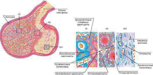 строение гипофиза гистология