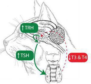 гипофиз кошки гистология