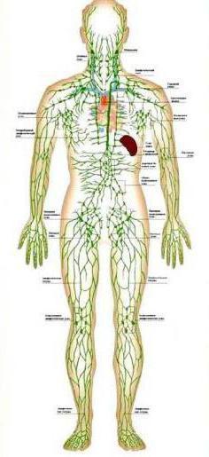 циркуляция крови тканевой жидкости и лимфы