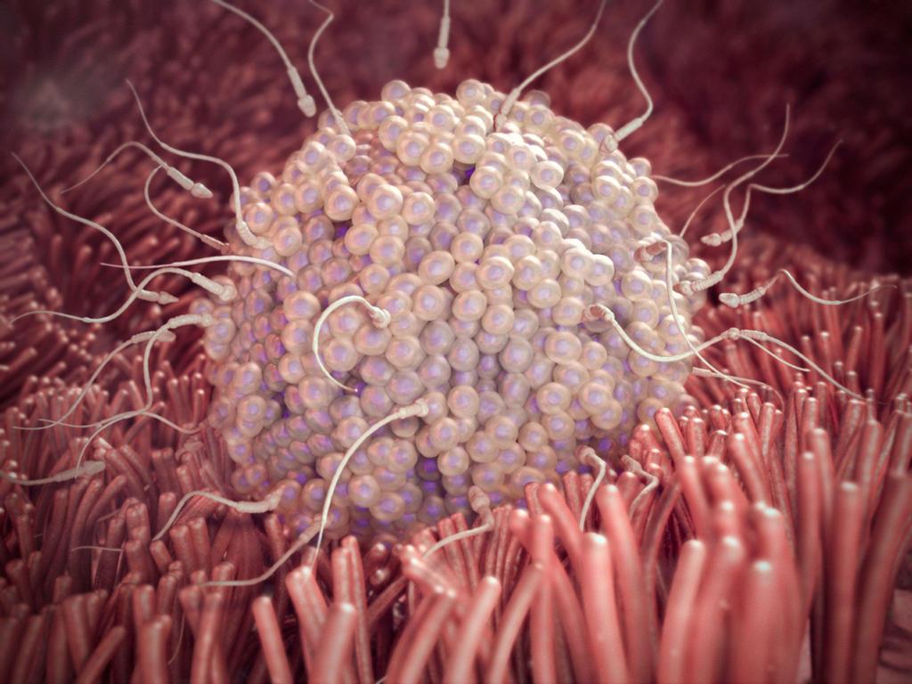 Сперматозоиды могут прожить в женском организме и сохранить оплодотворяющую способность