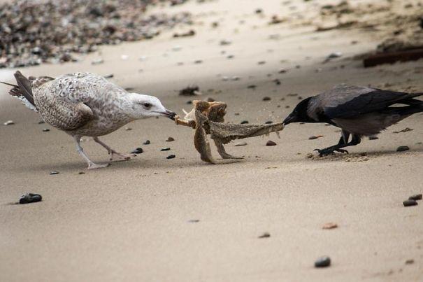 ворона и чайка