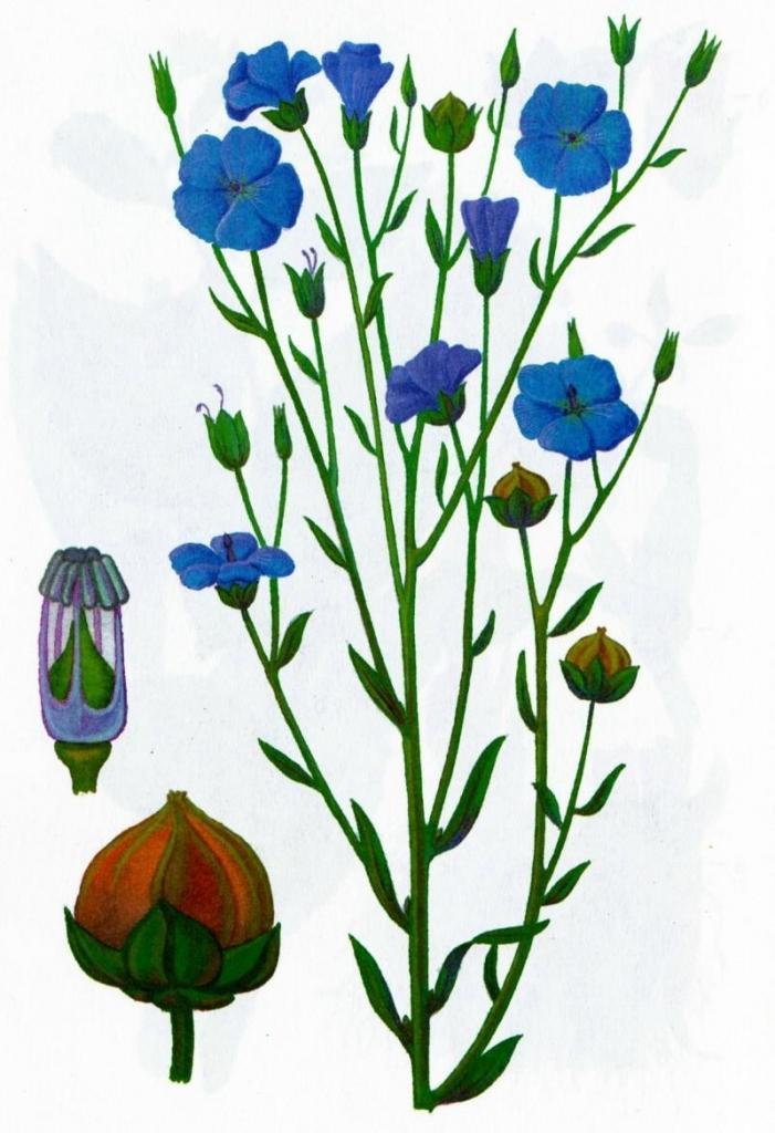лен растение