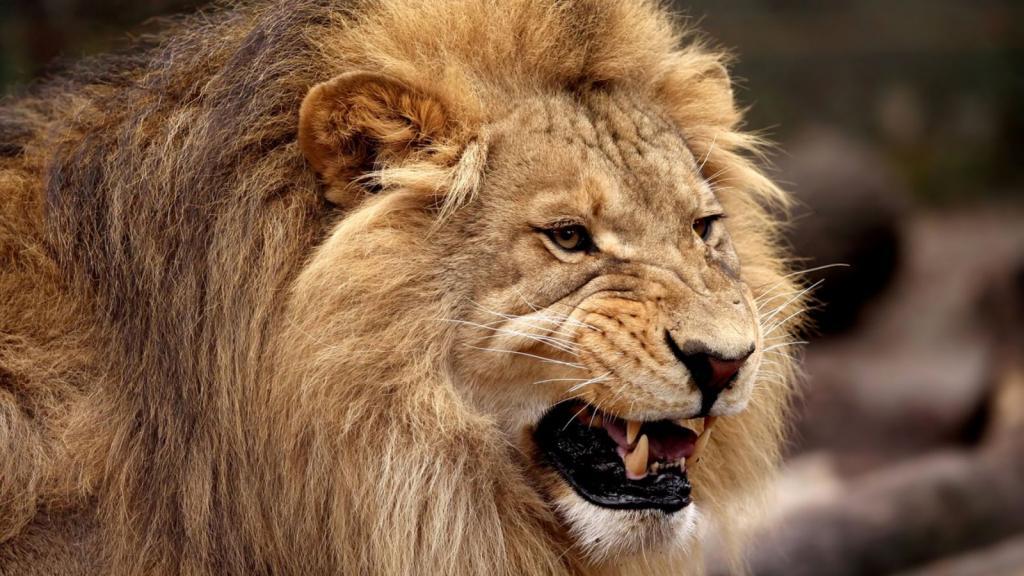 Картинки львы оскалом