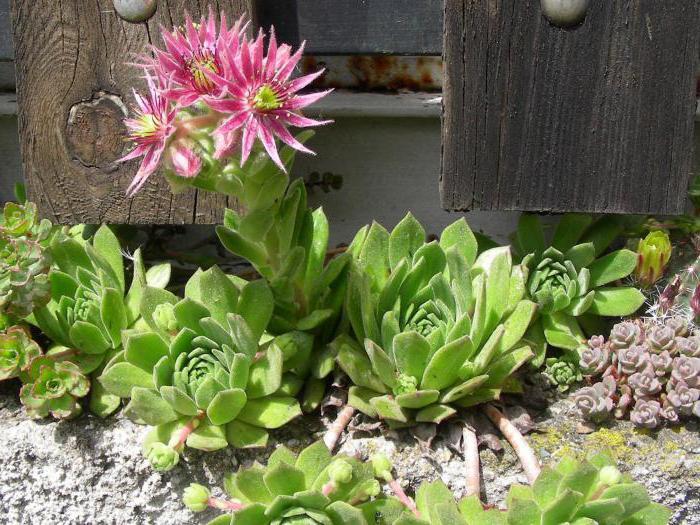 цветок молодило посадка и уход фото