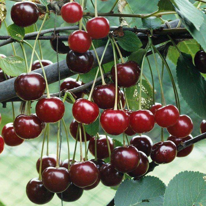 Лучшие низкорослые сорта вишни: посадка и уход