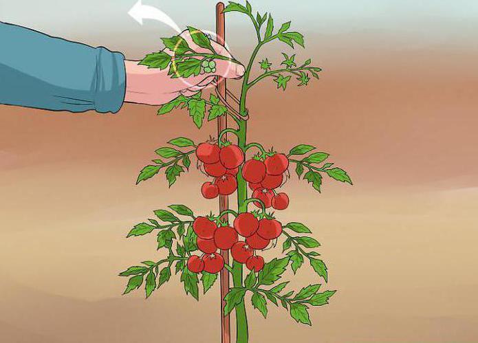 как правильно обрезать помидоры в теплице