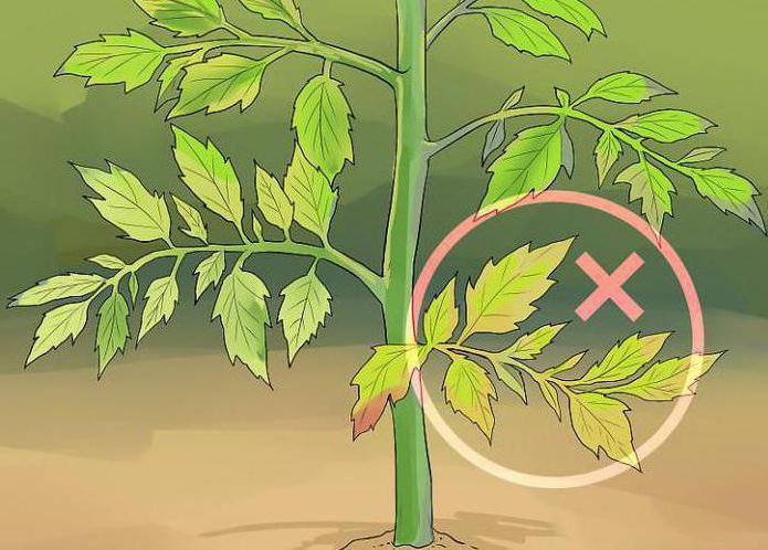 как правильно обрезать листья помидоров в теплице