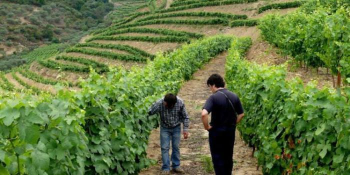 виноград саперави северный описание сорта фото