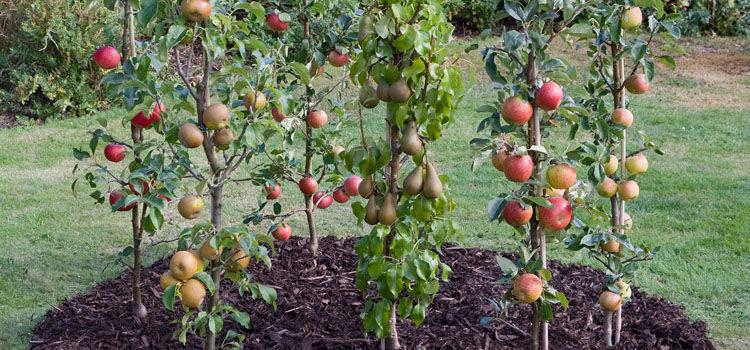 Различные сорта яблони