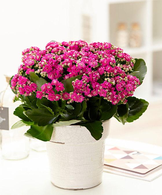 шоу цветок каланхоэ уход в домашних условиях фото первый
