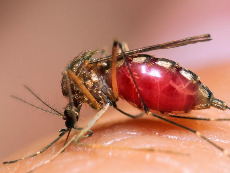 комары паразиты