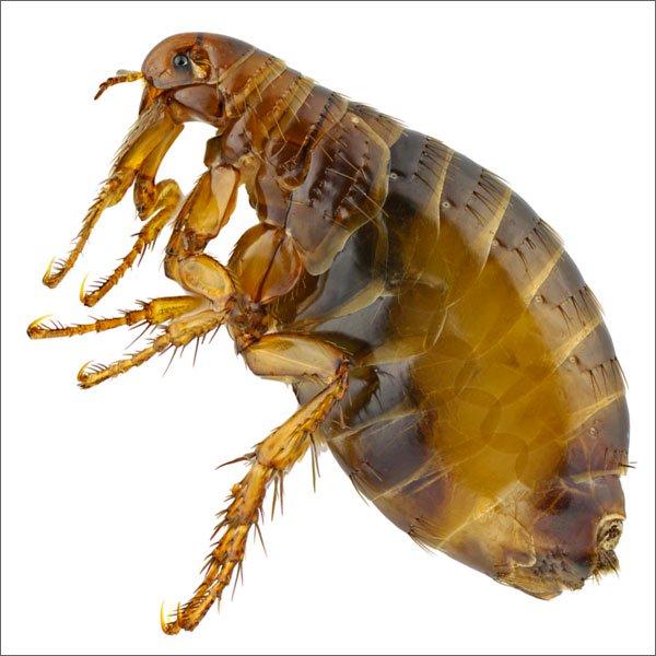 блохи - опасные насекомые