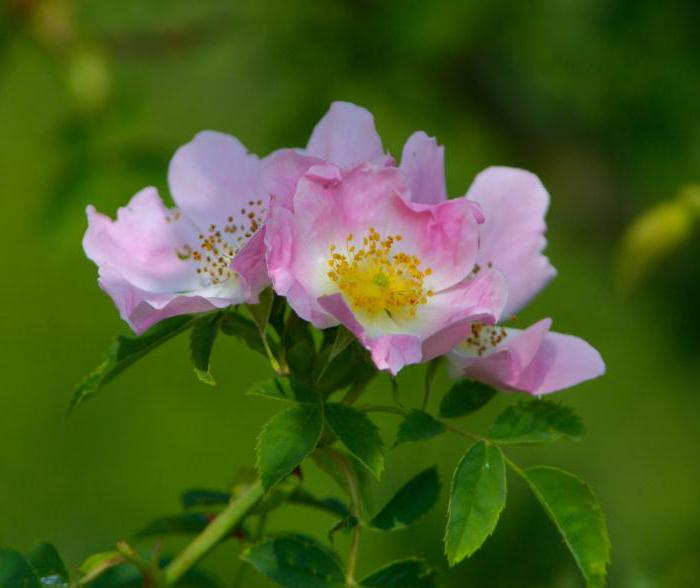 роза белая колючейшая