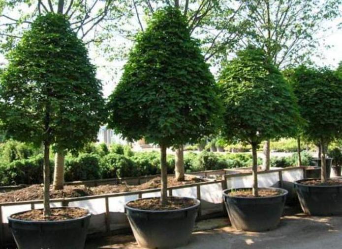 Посадка крупномеров: как пересаживать взрослые деревья?