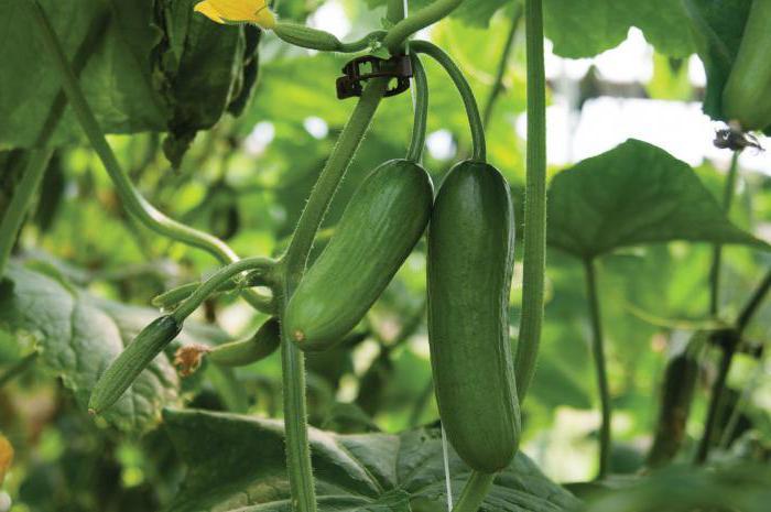 как увеличить урожай огурцов в открытом грунте
