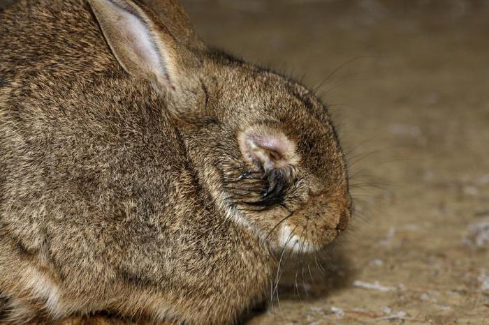 болезни кроликов миксоматоз можно ли есть мясо