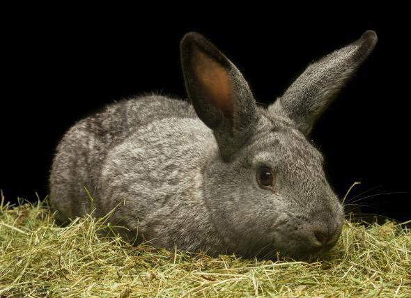 можно ли есть мясо кролика заболевшего миксоматозом