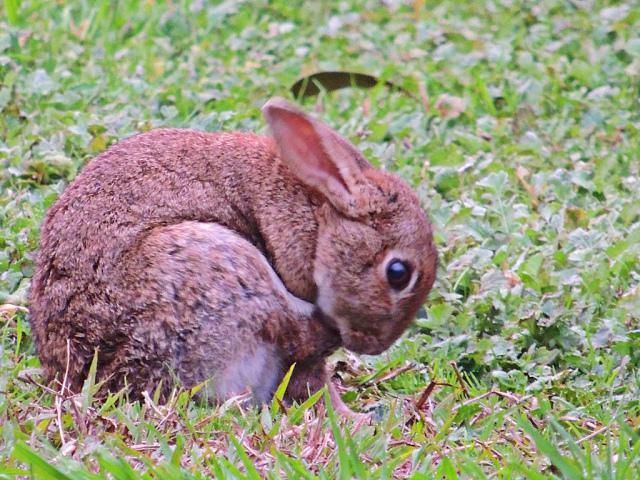 можно ли кушать мясо кролика больного миксоматозом