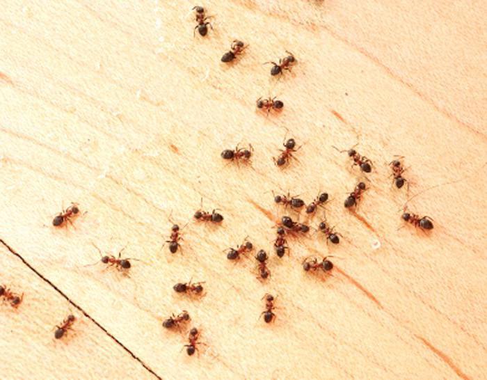 как избавиться от маленьких муравьев в квартире