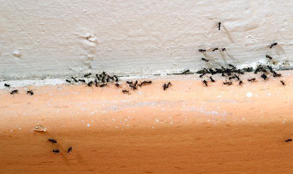 в квартире появились маленькие муравьи как избавиться