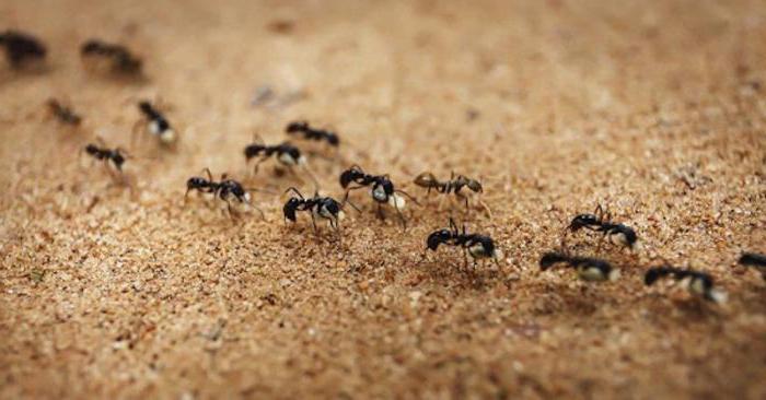 маленькие коричневые муравьи в квартире как избавиться
