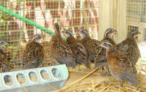 фазаны разведение и содержание