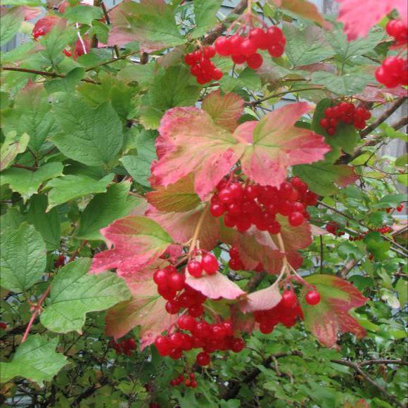 калина красная дерево или кустарник
