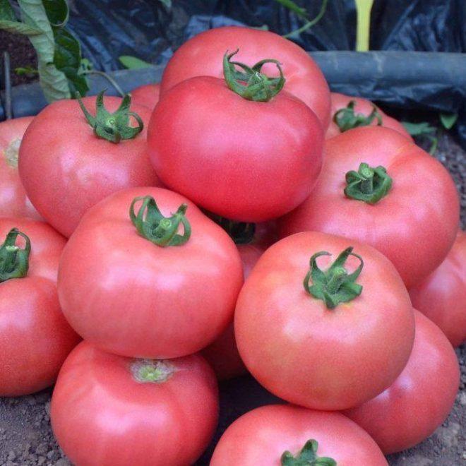 Розмарин сорт помидор