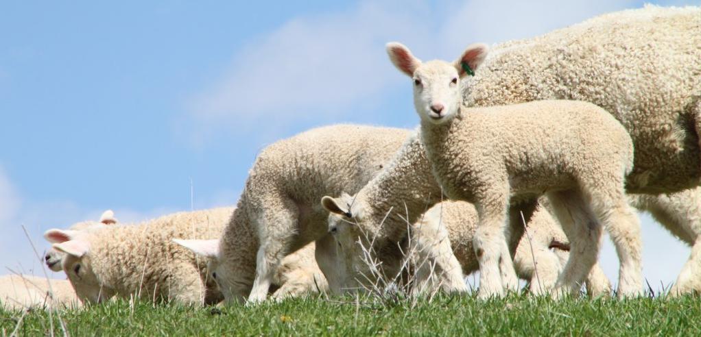 Как люди занимаються сексом с овцами