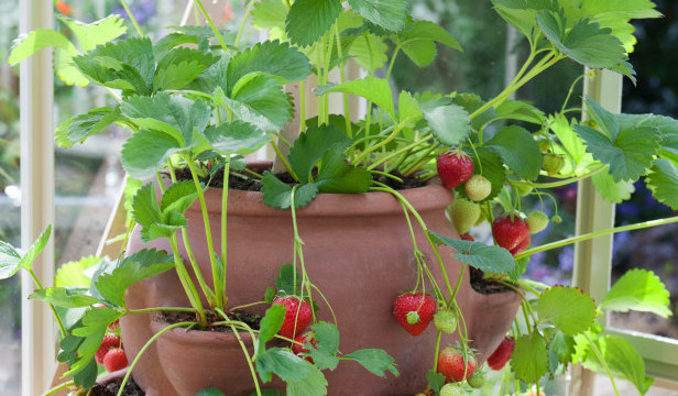 Клубника для выращивания дома сорта 70