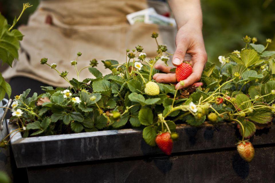 Выращивание клубники для рассады в
