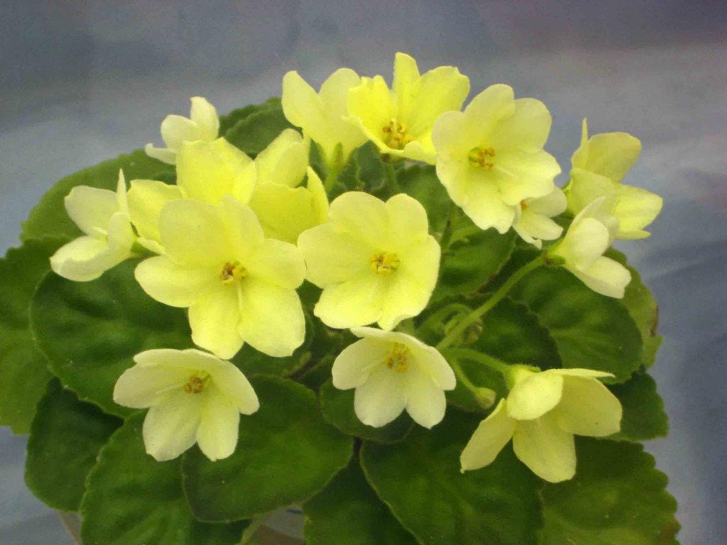 Желтая сенполия