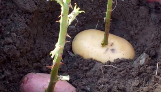 Выращивание розы из букета в картошке 88