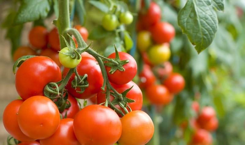 пиноккио томаты отзывы томаты выращивание из семян