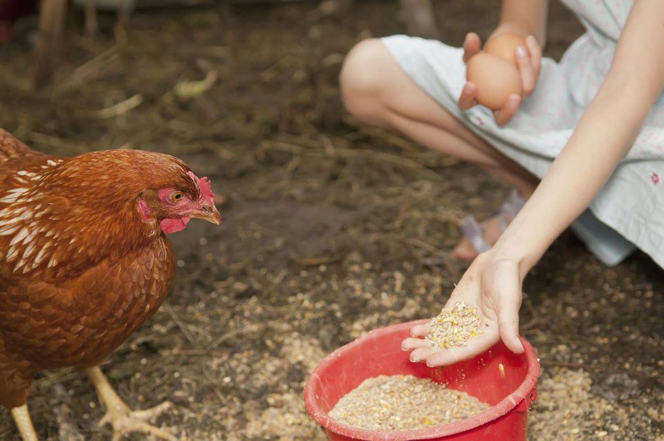 чем нельзя кормить кур