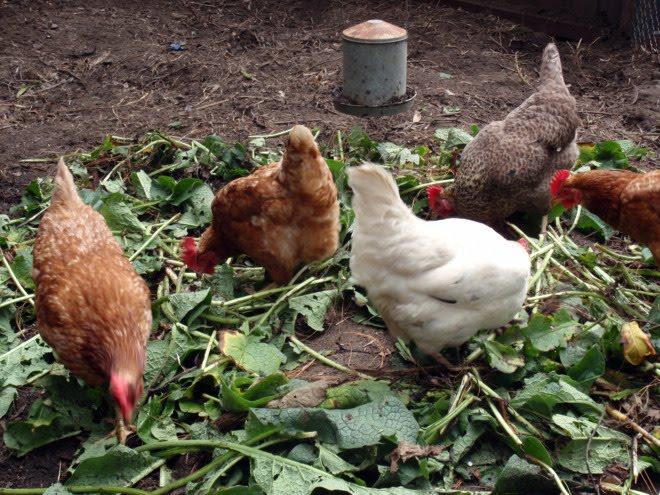 запрещенные продукты для кур