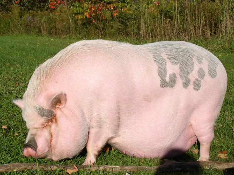 жирная свинья смешные картинки лук