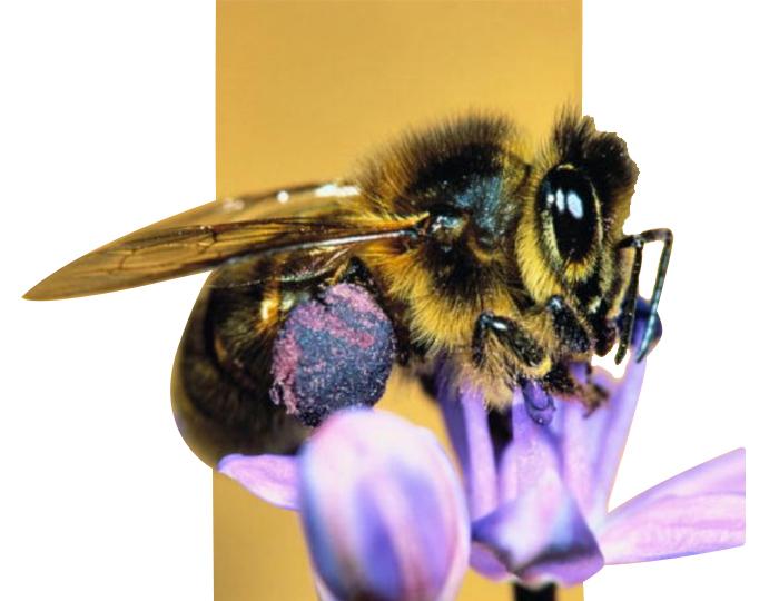 башкирская порода пчел