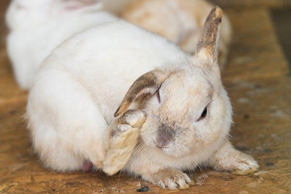 причины облысения кроликов