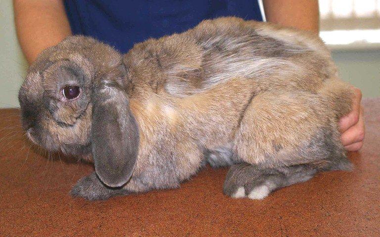 порода лысых кроликов