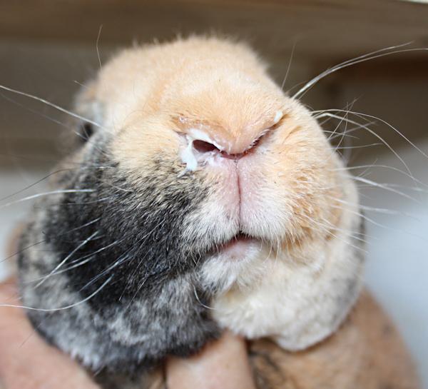 насморк у кролика