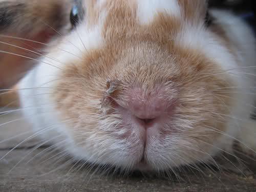 ринит у кролика